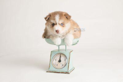 puppy132 week5 BowTiePomsky.com Bowtie Pomsky Puppy For Sale Husky Pomeranian Mini Dog Spokane WA Breeder Blue Eyes Pomskies Celebrity Puppy web-logo2