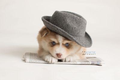 puppy132 week5 BowTiePomsky.com Bowtie Pomsky Puppy For Sale Husky Pomeranian Mini Dog Spokane WA Breeder Blue Eyes Pomskies Celebrity Puppy web-logo3