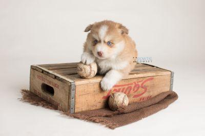 puppy132 week5 BowTiePomsky.com Bowtie Pomsky Puppy For Sale Husky Pomeranian Mini Dog Spokane WA Breeder Blue Eyes Pomskies Celebrity Puppy web-logo6