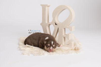 puppy134 week1 BowTiePomsky.com Bowtie Pomsky Puppy For Sale Husky Pomeranian Mini Dog Spokane WA Breeder Blue Eyes Pomskies Celebrity Puppy web3