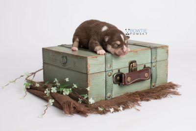 puppy134 week1 BowTiePomsky.com Bowtie Pomsky Puppy For Sale Husky Pomeranian Mini Dog Spokane WA Breeder Blue Eyes Pomskies Celebrity Puppy web4