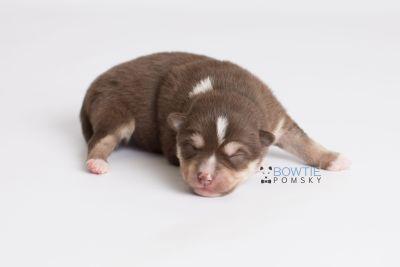 puppy134 week1 BowTiePomsky.com Bowtie Pomsky Puppy For Sale Husky Pomeranian Mini Dog Spokane WA Breeder Blue Eyes Pomskies Celebrity Puppy web6