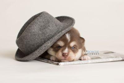 puppy134 week3 BowTiePomsky.com Bowtie Pomsky Puppy For Sale Husky Pomeranian Mini Dog Spokane WA Breeder Blue Eyes Pomskies Celebrity Puppy web-logo5