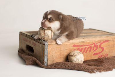 puppy134 week3 BowTiePomsky.com Bowtie Pomsky Puppy For Sale Husky Pomeranian Mini Dog Spokane WA Breeder Blue Eyes Pomskies Celebrity Puppy web-logo6