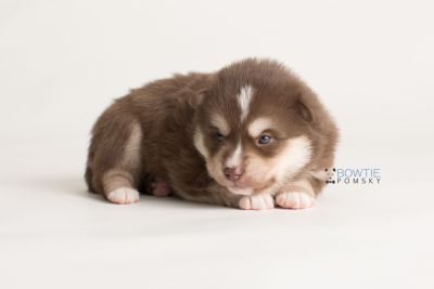 puppy134 week3 BowTiePomsky.com Bowtie Pomsky Puppy For Sale Husky Pomeranian Mini Dog Spokane WA Breeder Blue Eyes Pomskies Celebrity Puppy web-logo8