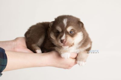 puppy134 week3 BowTiePomsky.com Bowtie Pomsky Puppy For Sale Husky Pomeranian Mini Dog Spokane WA Breeder Blue Eyes Pomskies Celebrity Puppy web-logo9