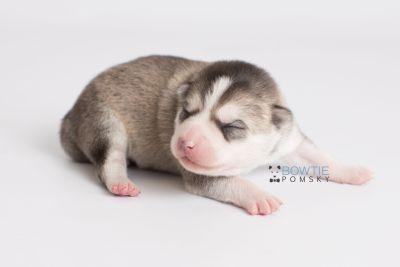 puppy135 week1 BowTiePomsky.com Bowtie Pomsky Puppy For Sale Husky Pomeranian Mini Dog Spokane WA Breeder Blue Eyes Pomskies Celebrity Puppy web6