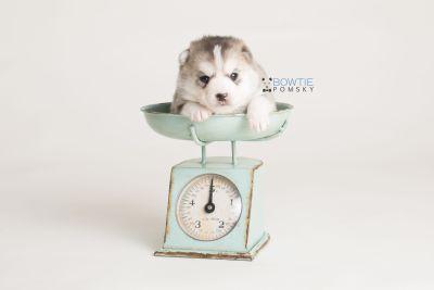 puppy135 week3 BowTiePomsky.com Bowtie Pomsky Puppy For Sale Husky Pomeranian Mini Dog Spokane WA Breeder Blue Eyes Pomskies Celebrity Puppy web-logo1