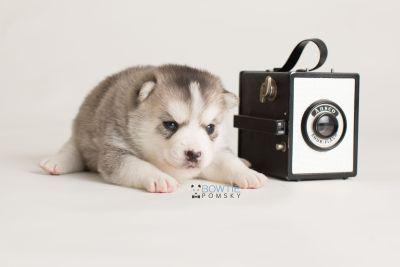 puppy135 week3 BowTiePomsky.com Bowtie Pomsky Puppy For Sale Husky Pomeranian Mini Dog Spokane WA Breeder Blue Eyes Pomskies Celebrity Puppy web-logo4