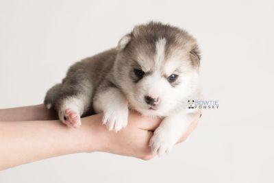 puppy135 week3 BowTiePomsky.com Bowtie Pomsky Puppy For Sale Husky Pomeranian Mini Dog Spokane WA Breeder Blue Eyes Pomskies Celebrity Puppy web-logo8