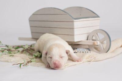 puppy136 week1 BowTiePomsky.com Bowtie Pomsky Puppy For Sale Husky Pomeranian Mini Dog Spokane WA Breeder Blue Eyes Pomskies Celebrity Puppy web2