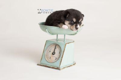 puppy137 week3 BowTiePomsky.com Bowtie Pomsky Puppy For Sale Husky Pomeranian Mini Dog Spokane WA Breeder Blue Eyes Pomskies Celebrity Puppy web-logo1