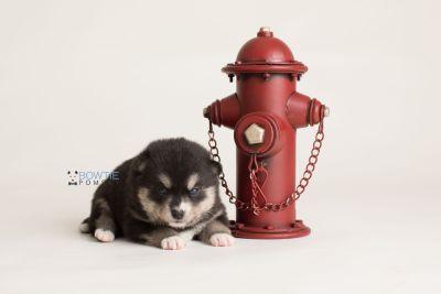 puppy137 week3 BowTiePomsky.com Bowtie Pomsky Puppy For Sale Husky Pomeranian Mini Dog Spokane WA Breeder Blue Eyes Pomskies Celebrity Puppy web-logo3