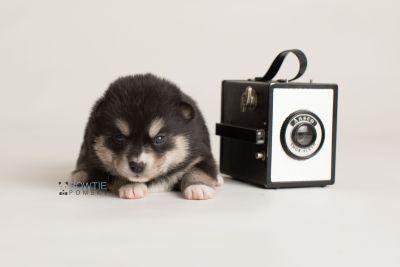 puppy137 week3 BowTiePomsky.com Bowtie Pomsky Puppy For Sale Husky Pomeranian Mini Dog Spokane WA Breeder Blue Eyes Pomskies Celebrity Puppy web-logo4