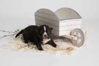 puppy138 week1 BowTiePomsky.com Bowtie Pomsky Puppy For Sale Husky Pomeranian Mini Dog Spokane WA Breeder Blue Eyes Pomskies Celebrity Puppy web2