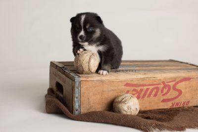 puppy138 week3 BowTiePomsky.com Bowtie Pomsky Puppy For Sale Husky Pomeranian Mini Dog Spokane WA Breeder Blue Eyes Pomskies Celebrity Puppy web-logo6