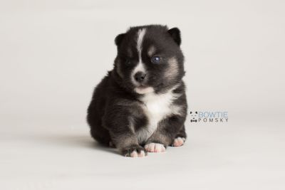 puppy138 week3 BowTiePomsky.com Bowtie Pomsky Puppy For Sale Husky Pomeranian Mini Dog Spokane WA Breeder Blue Eyes Pomskies Celebrity Puppy web-logo7