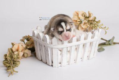 puppy139 week1 BowTiePomsky.com Bowtie Pomsky Puppy For Sale Husky Pomeranian Mini Dog Spokane WA Breeder Blue Eyes Pomskies Celebrity Puppy web1