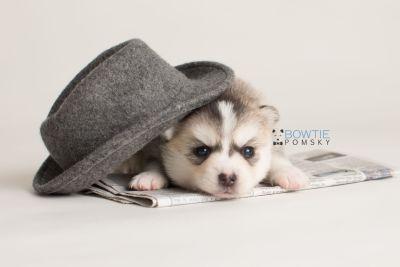 puppy139 week3 BowTiePomsky.com Bowtie Pomsky Puppy For Sale Husky Pomeranian Mini Dog Spokane WA Breeder Blue Eyes Pomskies Celebrity Puppy web-logo6