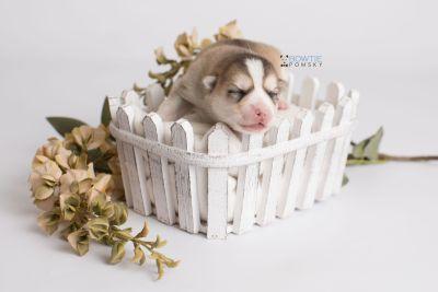 puppy140 week1 BowTiePomsky.com Bowtie Pomsky Puppy For Sale Husky Pomeranian Mini Dog Spokane WA Breeder Blue Eyes Pomskies Celebrity Puppy web1