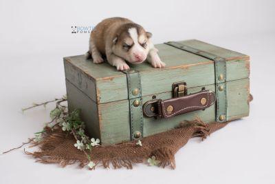 puppy140 week1 BowTiePomsky.com Bowtie Pomsky Puppy For Sale Husky Pomeranian Mini Dog Spokane WA Breeder Blue Eyes Pomskies Celebrity Puppy web4
