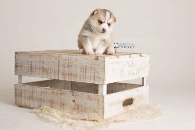 puppy140 week3 BowTiePomsky.com Bowtie Pomsky Puppy For Sale Husky Pomeranian Mini Dog Spokane WA Breeder Blue Eyes Pomskies Celebrity Puppy web-logo2
