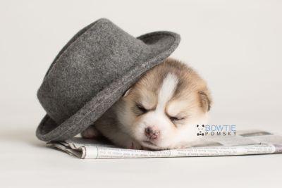 puppy140 week3 BowTiePomsky.com Bowtie Pomsky Puppy For Sale Husky Pomeranian Mini Dog Spokane WA Breeder Blue Eyes Pomskies Celebrity Puppy web-logo5