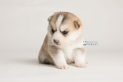 puppy140 week3 BowTiePomsky.com Bowtie Pomsky Puppy For Sale Husky Pomeranian Mini Dog Spokane WA Breeder Blue Eyes Pomskies Celebrity Puppy web-logo8