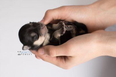 puppy141 week1 BowTiePomsky.com Bowtie Pomsky Puppy For Sale Husky Pomeranian Mini Dog Spokane WA Breeder Blue Eyes Pomskies Celebrity Puppy web9