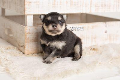 puppy141 week3 BowTiePomsky.com Bowtie Pomsky Puppy For Sale Husky Pomeranian Mini Dog Spokane WA Breeder Blue Eyes Pomskies Celebrity Puppy web-logo8