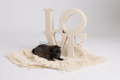 puppy142 week1 BowTiePomsky.com Bowtie Pomsky Puppy For Sale Husky Pomeranian Mini Dog Spokane WA Breeder Blue Eyes Pomskies Celebrity Puppy web2