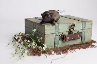 puppy142 week1 BowTiePomsky.com Bowtie Pomsky Puppy For Sale Husky Pomeranian Mini Dog Spokane WA Breeder Blue Eyes Pomskies Celebrity Puppy web5