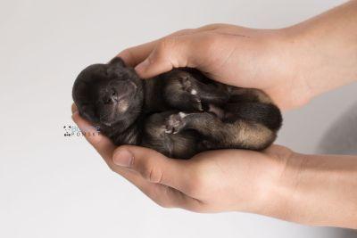 puppy142 week1 BowTiePomsky.com Bowtie Pomsky Puppy For Sale Husky Pomeranian Mini Dog Spokane WA Breeder Blue Eyes Pomskies Celebrity Puppy web7