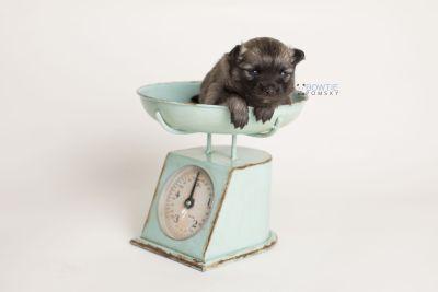puppy142 week3 BowTiePomsky.com Bowtie Pomsky Puppy For Sale Husky Pomeranian Mini Dog Spokane WA Breeder Blue Eyes Pomskies Celebrity Puppy web-logo2