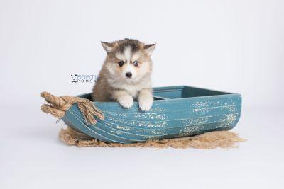 puppy128 week7 BowTiePomsky.com Bowtie Pomsky Puppy For Sale Husky Pomeranian Mini Dog Spokane WA Breeder Blue Eyes Pomskies Celebrity Puppy web-logo1