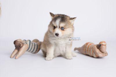 puppy128 week7 BowTiePomsky.com Bowtie Pomsky Puppy For Sale Husky Pomeranian Mini Dog Spokane WA Breeder Blue Eyes Pomskies Celebrity Puppy web-logo4