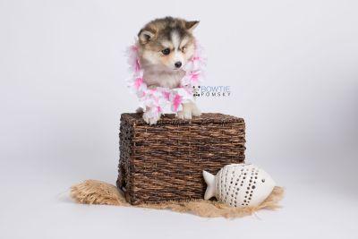 puppy128 week7 BowTiePomsky.com Bowtie Pomsky Puppy For Sale Husky Pomeranian Mini Dog Spokane WA Breeder Blue Eyes Pomskies Celebrity Puppy web-logo5