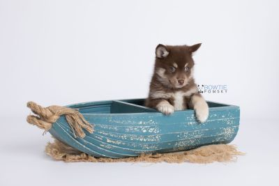 puppy129 week7 BowTiePomsky.com Bowtie Pomsky Puppy For Sale Husky Pomeranian Mini Dog Spokane WA Breeder Blue Eyes Pomskies Celebrity Puppy web-logo1