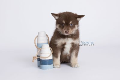 puppy129 week7 BowTiePomsky.com Bowtie Pomsky Puppy For Sale Husky Pomeranian Mini Dog Spokane WA Breeder Blue Eyes Pomskies Celebrity Puppy web-logo2