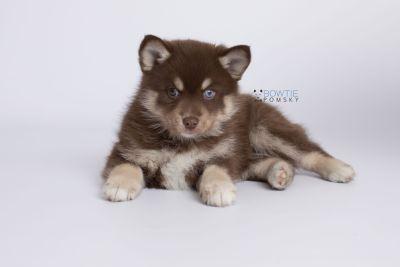 puppy129 week7 BowTiePomsky.com Bowtie Pomsky Puppy For Sale Husky Pomeranian Mini Dog Spokane WA Breeder Blue Eyes Pomskies Celebrity Puppy web-logo6