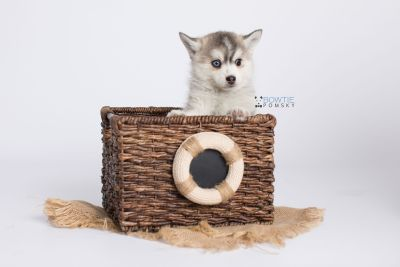 puppy130 week7 BowTiePomsky.com Bowtie Pomsky Puppy For Sale Husky Pomeranian Mini Dog Spokane WA Breeder Blue Eyes Pomskies Celebrity Puppy web-logo3