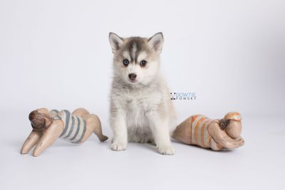 puppy130 week7 BowTiePomsky.com Bowtie Pomsky Puppy For Sale Husky Pomeranian Mini Dog Spokane WA Breeder Blue Eyes Pomskies Celebrity Puppy web-logo4