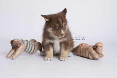 puppy131 week7 BowTiePomsky.com Bowtie Pomsky Puppy For Sale Husky Pomeranian Mini Dog Spokane WA Breeder Blue Eyes Pomskies Celebrity Puppy web-logo4