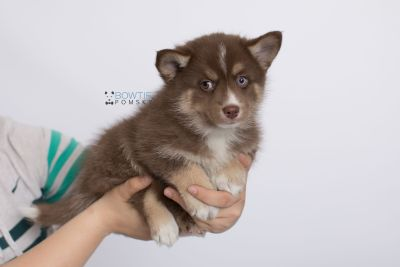 puppy131 week7 BowTiePomsky.com Bowtie Pomsky Puppy For Sale Husky Pomeranian Mini Dog Spokane WA Breeder Blue Eyes Pomskies Celebrity Puppy web-logo9