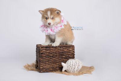 puppy132 week7 BowTiePomsky.com Bowtie Pomsky Puppy For Sale Husky Pomeranian Mini Dog Spokane WA Breeder Blue Eyes Pomskies Celebrity Puppy web-logo5