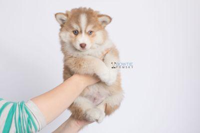 puppy132 week7 BowTiePomsky.com Bowtie Pomsky Puppy For Sale Husky Pomeranian Mini Dog Spokane WA Breeder Blue Eyes Pomskies Celebrity Puppy web-logo7