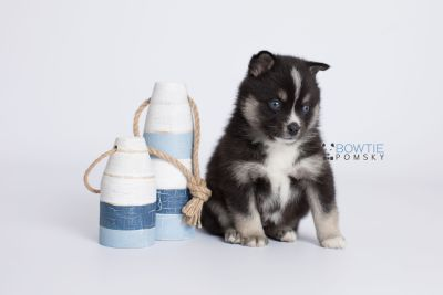 puppy133 week5 BowTiePomsky.com Bowtie Pomsky Puppy For Sale Husky Pomeranian Mini Dog Spokane WA Breeder Blue Eyes Pomskies Celebrity Puppy web-logo3