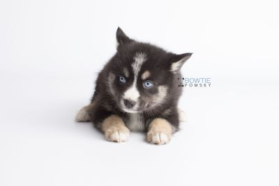 puppy133 week7 BowTiePomsky.com Bowtie Pomsky Puppy For Sale Husky Pomeranian Mini Dog Spokane WA Breeder Blue Eyes Pomskies Celebrity Puppy web7