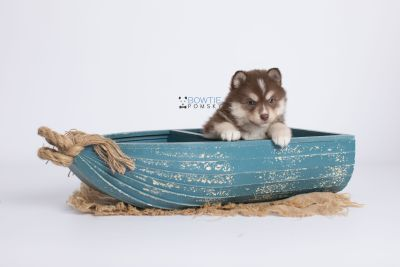 puppy134 week5 BowTiePomsky.com Bowtie Pomsky Puppy For Sale Husky Pomeranian Mini Dog Spokane WA Breeder Blue Eyes Pomskies Celebrity Puppy web-logo1