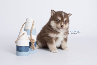 puppy134 week5 BowTiePomsky.com Bowtie Pomsky Puppy For Sale Husky Pomeranian Mini Dog Spokane WA Breeder Blue Eyes Pomskies Celebrity Puppy web-logo2